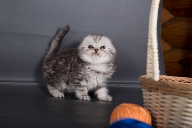 британские котята вислоухие 2 месяца фото
