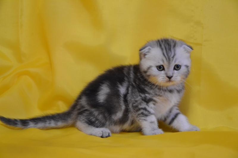 Чем кормить британскую вислоухую кошку в домашних  715