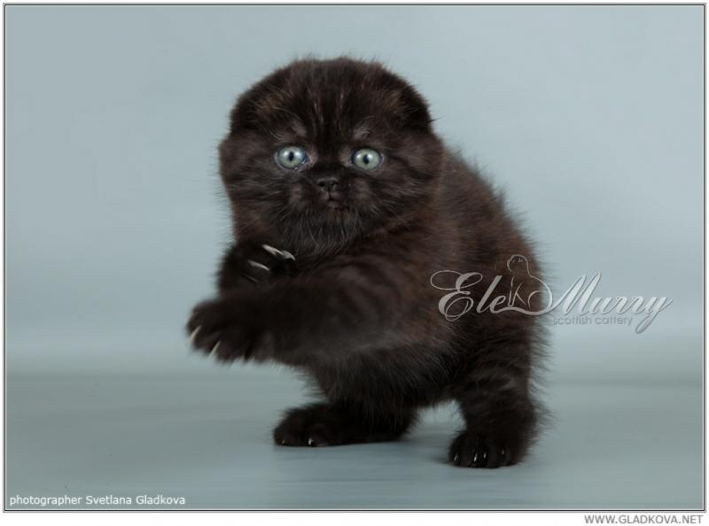 котенок вислоухий черный фото