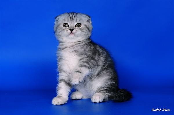 Чем кормить британскую вислоухую кошку в домашних  799