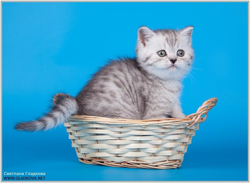Шотландские коты скоттиш страйт