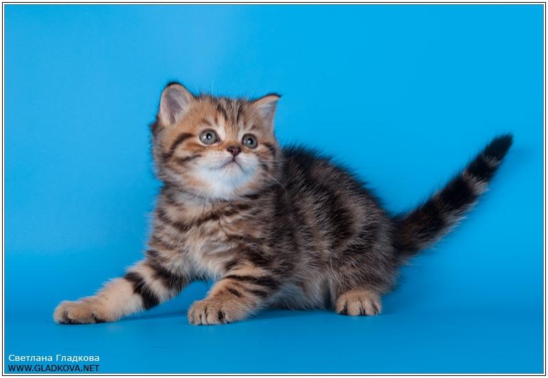 Шотландский скоттиш страйт фото котята
