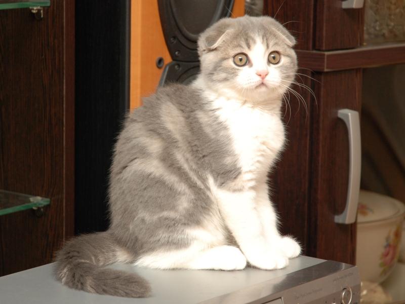 как выглядят шотландские котята